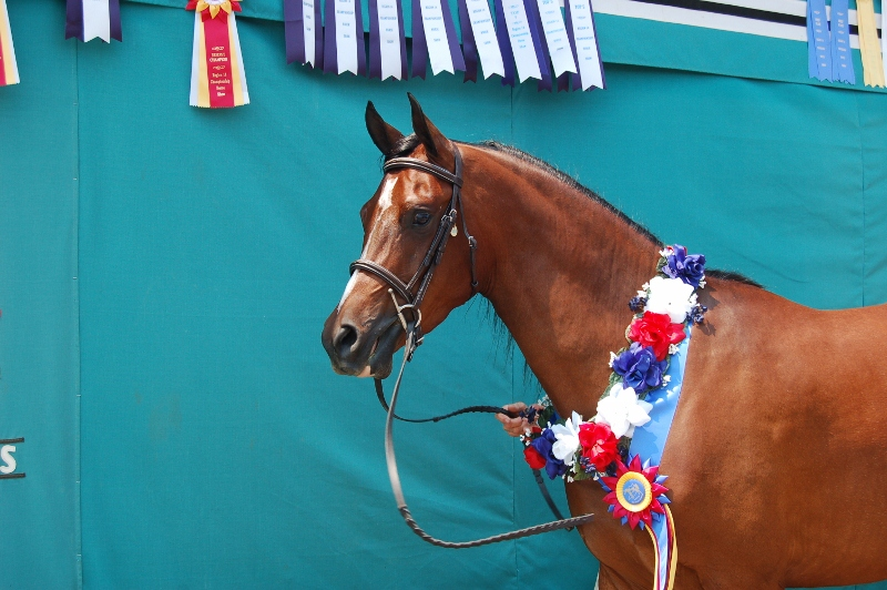 Patriot V- Champion Gelding